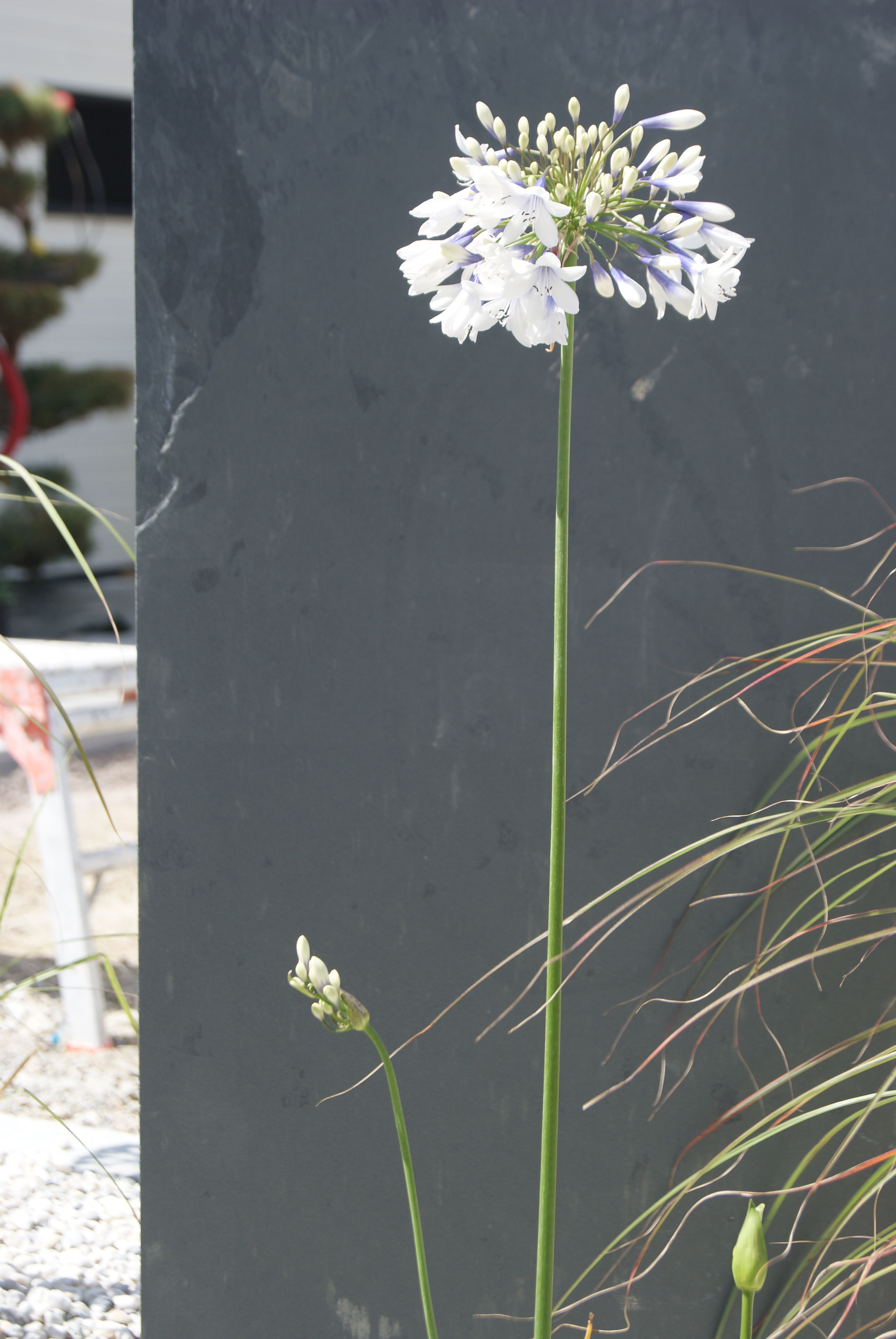 Massif contemporain. Agapanthe. Palis ardoise Jardins des 4 Saisons. Guer, Ploërmel, Redon, Plélan-Le-Grand, Maure de Bretagne